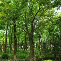 供应朴树.绿化苗木.花卉