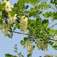 供应洋槐绿化苗木.花卉