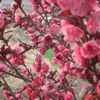 供应紫叶桃绿化苗木.花卉
