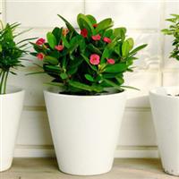 红虎刺梅仙人多肉迷你花卉绿色植物创意盆栽防辐射景天科