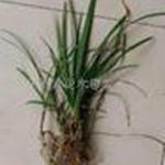 供应彩叶麦冬高寒,常绿,观花,观叶,彩叶新地被