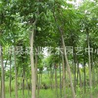 落叶乔木类->供应:北京栾树,栾树小苗,栾树苗,栾树种植基地