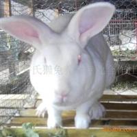 獭兔 獭兔种兔 獭兔种兔价格 北京獭兔 北京獭兔种