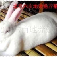 獭兔獭兔养殖