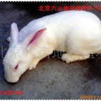 獭兔种兔獭兔