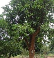 大香泡树数量有限