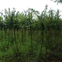 绿化苗木重阳木各种规格均有/详情请来