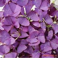 萧山花木城批发价格紫叶酢浆草,另外有葱兰,麦冬草等