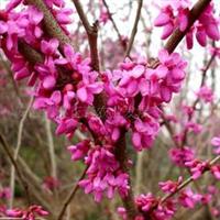 供应批量(加拿大紫荆花)枝叶茂盛、品质优良、价格优惠