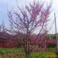 出售批量品质优良的加拿大紫荆