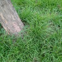 批发供应绿化草景观草休闲草