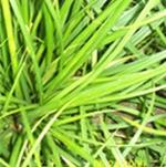 厂家生产耐旱排水好常绿草坪优质泥培草坪
