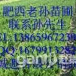 桂花树|广玉兰|国槐|香樟树|高杆女贞|广玉兰价格