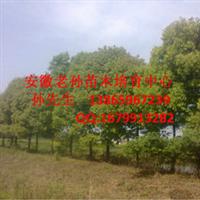 安徽桂花树|安徽桂花|肥西桂花|肥西三岗桂花|肥西桂花树
