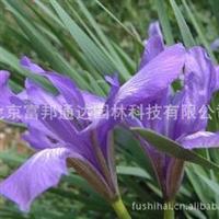 大量供应马蔺、春黄菊、丛生风铃草、大花剪秋罗等宿根花种