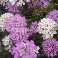 大量供应蜂室花、二月兰、飞燕草、风铃草等野花组合种子