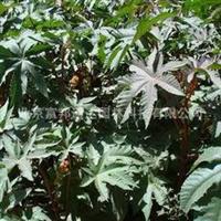 大量供应红蓖麻旱金莲、大阿米芹、丁香鼠尾草等野花组合种子