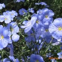 供应多种花卉种子,如蓝亚麻(多年生、蓝色)、茑萝、柳穿鱼