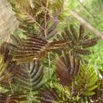 大量供应紫叶合欢、木槿、克罗拉多蓝杉