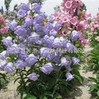 供应风铃草、矮牵牛、万寿菊等的盆花、种子野花种子组合