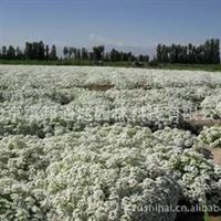 供应香雪球及各种野花种子
