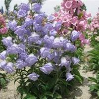大量供应大花风铃草、大阿米芹、地肤等野花种子信誉保障