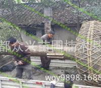 低价出售香樟树,各个种类香樟树尺寸齐全