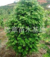 大量供应红豆杉南方红豆杉80公分---1.2米