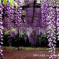 批发供应优质紫藤种子爬藤花卉种子正品