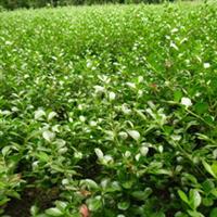 供应优质绿化苗黄杨球瓜子黄杨球冠幅20-25公分