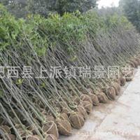 大量批发苗木2公分桂花树八月桂花树火热供应欢迎抢购