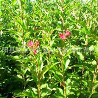 大量低价供应优质绿化苗木红王子锦带价格优惠规格齐全