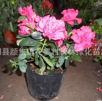 供应:优质杜鹃盆栽杜鹃苏北杜鹃基地直销杜鹃价格优惠