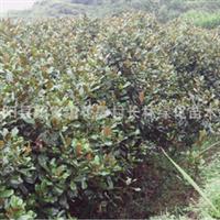 供应:优质木槿木槿苗木槿价格优惠附木槿栽培技术