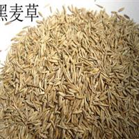 批发供应一年生黑麦草草种黑麦草草籽牧草种子黑麦草种子