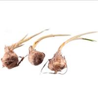 盆栽植物种球花卉藏红花种球别名番红花种球西红花