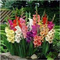 特价销售种球家居盆栽花卉植物唐菖蒲种球剑兰种球当年开花