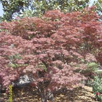 供应榉树、栾树、合欢、红叶李、紫薇