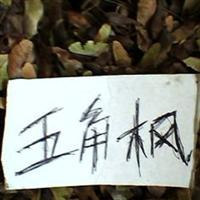 供应五角枫种子、三角枫种子、无患子种子、银杏种子