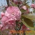供应花灌木:樱花地劲2--8