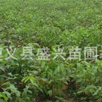 优质核桃苗、实生核桃苗、嫁接核桃苗云新早实系列云南重庆贵州