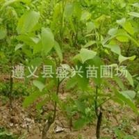批发核桃苗(直生苗、嫁接苗)品种绝对正宗齐全重庆贵州云南