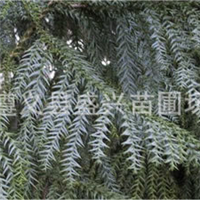 大量批发柳杉树苗、柳杉大苗、柳杉小苗、柳杉苗;重庆贵州