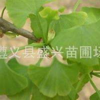供应大园铃、大佛手、安银1号大马铃银杏树苗重庆贵州