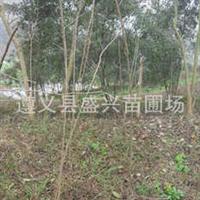 批发银杏树苗100万株重庆贵州都可发货