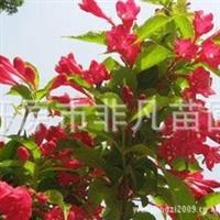 供应大量红王子锦带小苗红王子锦带工程苗灌木