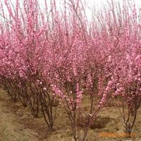 供应榆叶梅大花榆叶梅桃红栾枝重瓣麦里