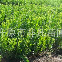 辽宁省开原市供应红王子锦带(花灌木)