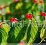 供应红花忍冬长白忍冬忍冬小苗灌木忍冬