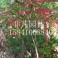 供应火炬树绿化苗木园林绿化乔木观赏树护坡